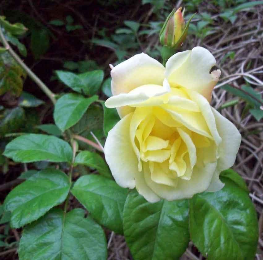 Unnamed yellow hybrid tea-type climber