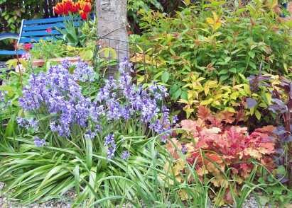 Bluebells and Heuchera Marmalade in front of Spiraea japonica Goldflame