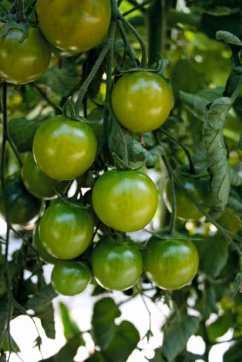 Tomato Sungreen