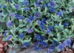 Cornflower Trailing Blue Carpet. Picture; Thompson & Morgan