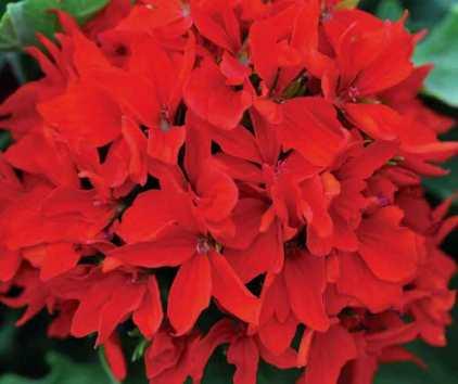 Geranium Quantum Red. Picture; Thompson & Morgan