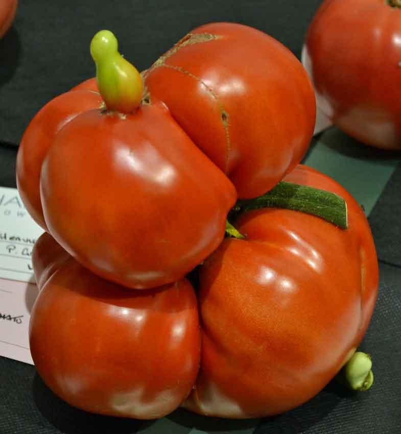 Gigantomo tomato winner