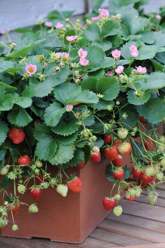 Strawberry Just Add Creamn