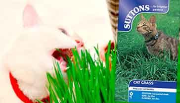 Catgrass seeds