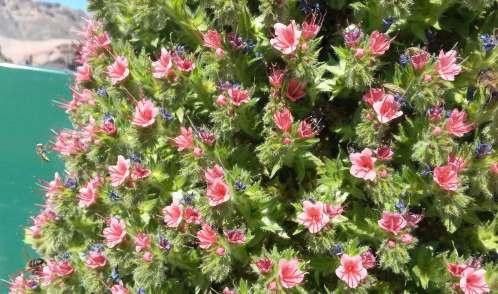 Echium, Tenerife