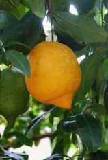 Neapolitan Lime