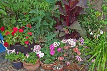 Canna, geranium