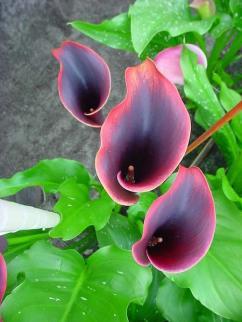 Brighter Blooms' Zantedeschia Eyeliner