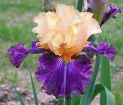 Cayeux Iris' Cocktail Tropical