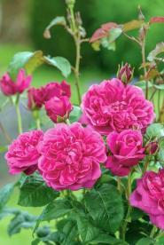 David Austin Roses - James L Austin. Picture; Howard-Rice
