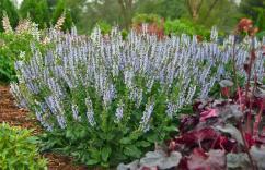 Hardy's Cottage Garden Plants - Salvia Crystal Blue