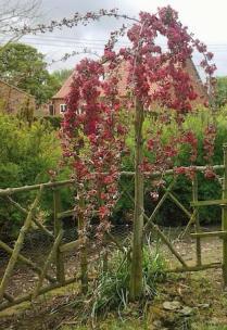 Hillier Nurseries - Malus x purpurea Crimson-Cascade