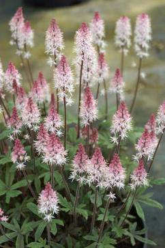 Plantagogo - Tiarella Raspberry Sundae plant