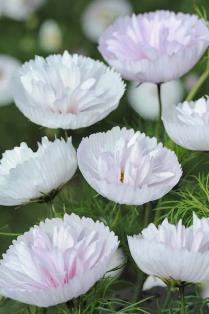 Scotts Miracle Gro - Cosmos Cupcakes Blush