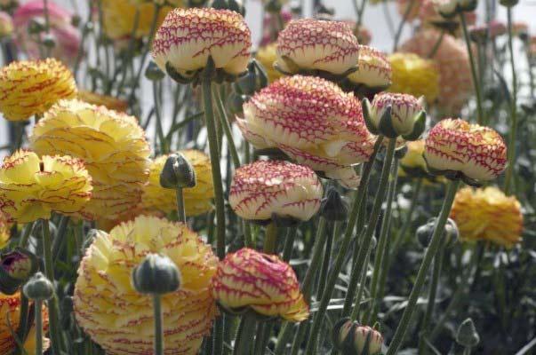 Ranunculus Striato Bianco