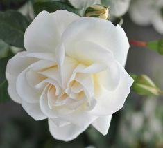 Rose Little Angel