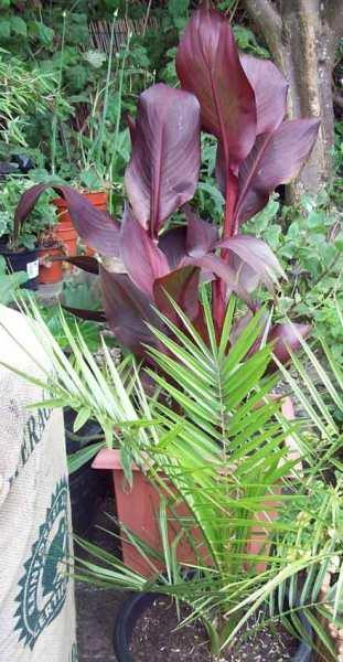 Canna palm