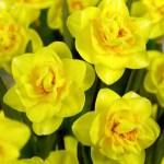 Daffodil Veneto