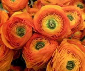 Ranunculus Clementine