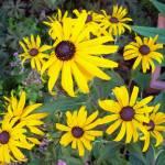 Late summer flowering perennials