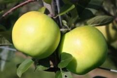 Apple Bionda Bella