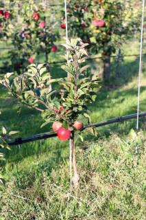 Mini apple Gullivers
