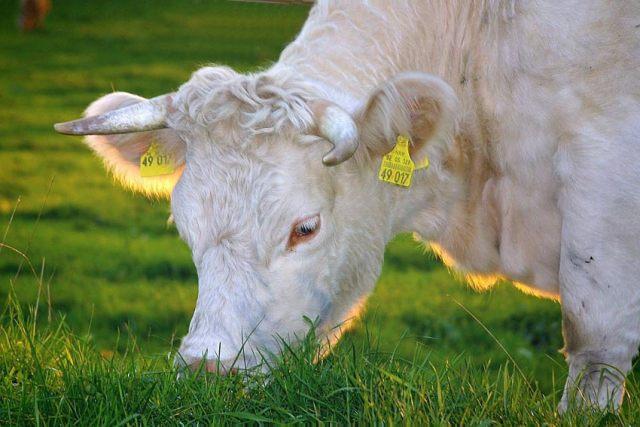 Organically-raised cow