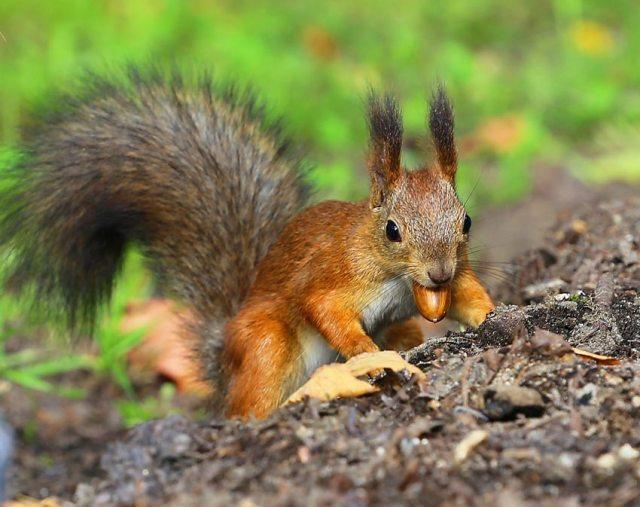 Red squirrel harvesting acorns