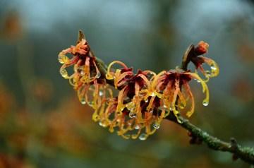Witch hazel blossom