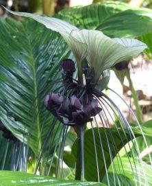 Bat flower (Tacca chantrieri)