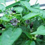 Pretty flowers of chilli Loco