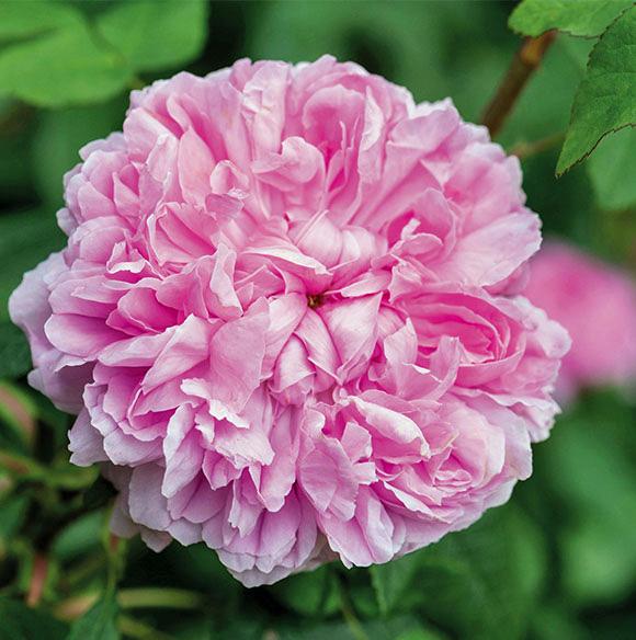 Rose Jacques Cartier. Picture; David Austin Roses
