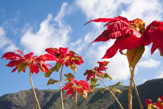 Poinsettias in the wild, Mexico