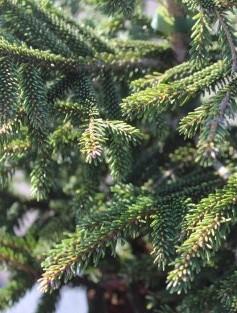 Compact Oriental Spruce Aurea. Picture; Lubera