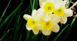 Daffodil Pacific Coast