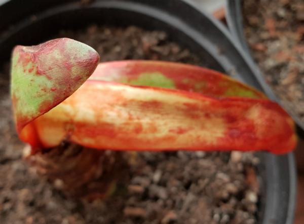 Red blotch on Amaryllis