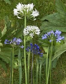 Stunning Agapanthus. Picture; thejoyofplants.co.uk
