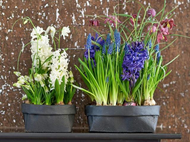 Hyacinths and fritillary on a mantelpiece. Picture; thejoyofplants.co.uk