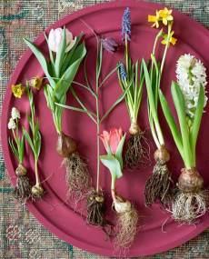 Mixed bulbs on a tray. Picture; thejoyofplants.co.uk