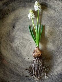 White grape hyacinth (Muscari). Picture; thejoyofplants.co.uk