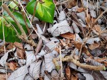 Hard to see now - Fuchsia Hawkshead cut back hard