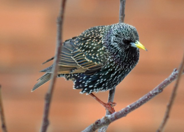 Starling in the apple tree