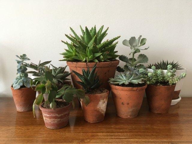 Succulents. Picture; Alice Vincent