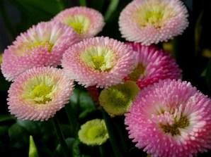 Bellis, a cultivar of the common lawn daisy