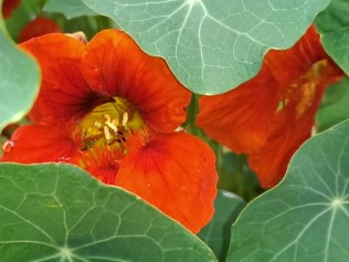 Self-seeder - nasturtium