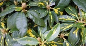 Rhododendron Goldflimmer