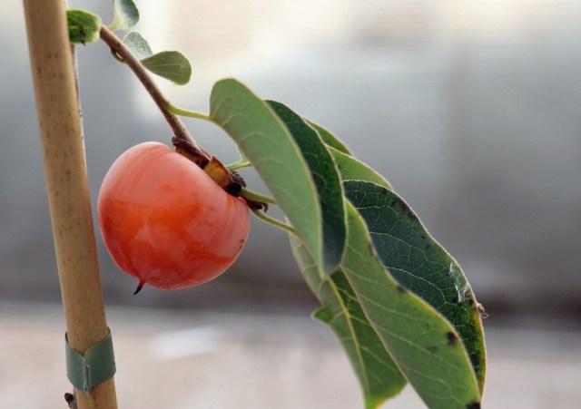 American Kaki Fruit Prairie Dawn. Picture; Lubera