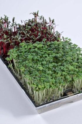 Microgreens Kit. Picture; Johnsons