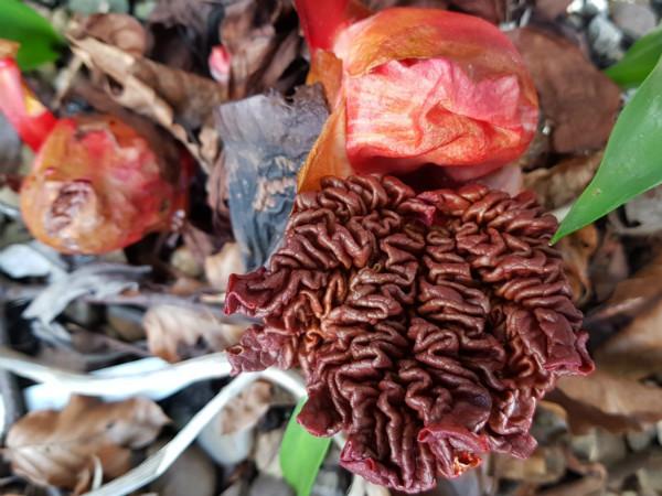 Unfurling rhubarb leaf