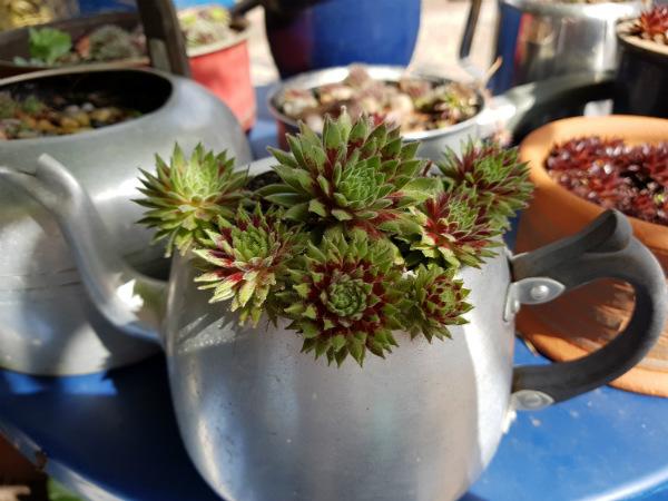 Surviving Sempervivums in teapot